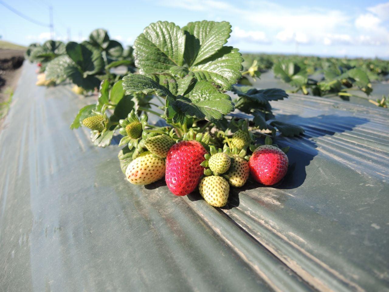Strawberries-CastrovilleCA-March2015