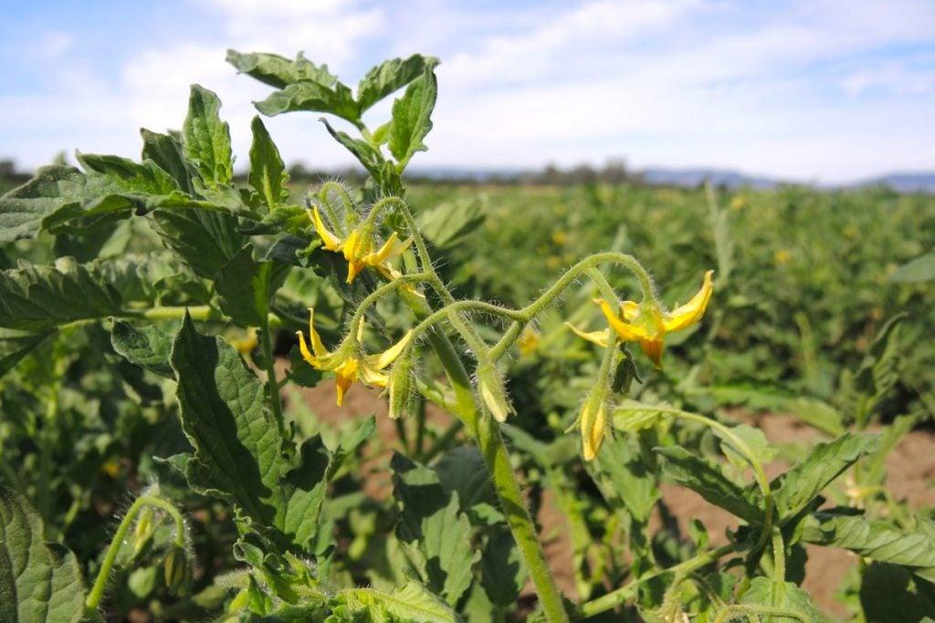 RussellRanch-TomatoFlowers-20160608-crop