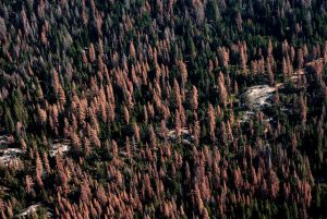 Dead and dying trees in Sierra forests, August 24, 2016. Photo credit: USFS.